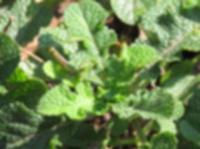 Salvia triangularis