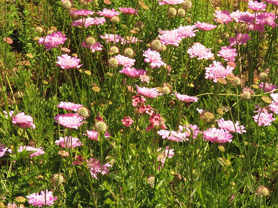 Hot pink grassland flowers