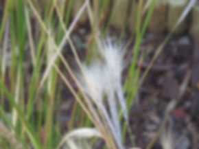 Andropogon eucomus