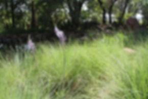Merwilla plumbea