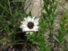 Callilepis laureola