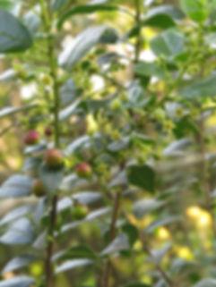 Rhamnus prinoides