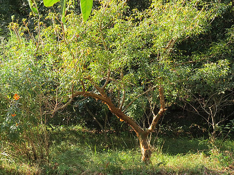 Commiphora harveyi