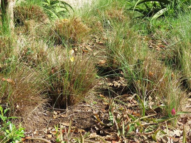Aristida junciformis cut early in May