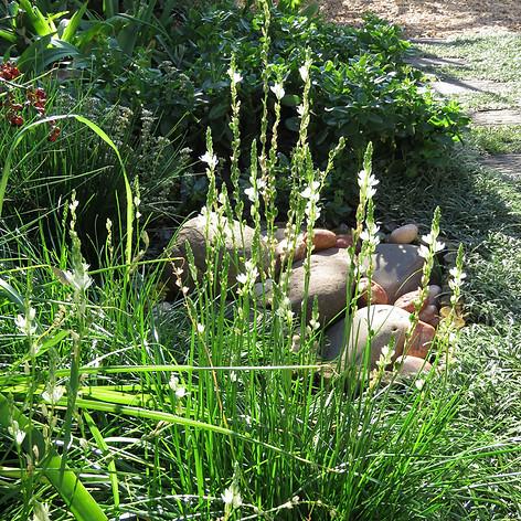 Ornithogalum juncifolium