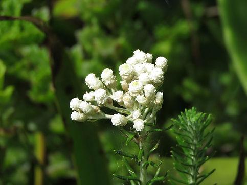 Helichrysum teretifolium
