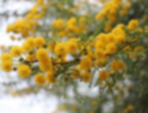 Vachellia karroo