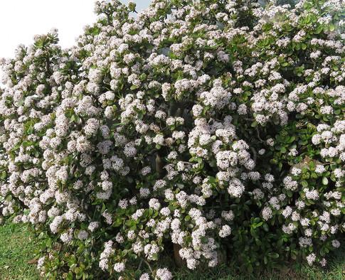 Crassula-ovata in full bloom