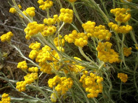 Helichrysum_splendidum_2c-(1)