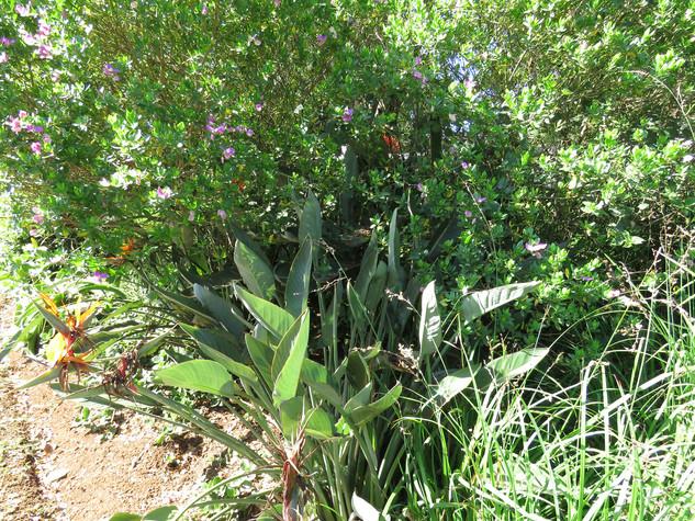 Polygala myrticolia & Strelitzia