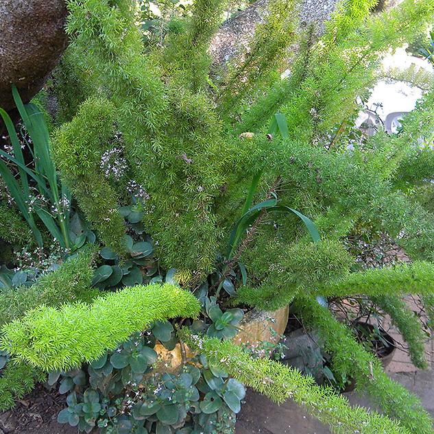 Asparagus densiflorus 'Meyersii' & Crassula multicava