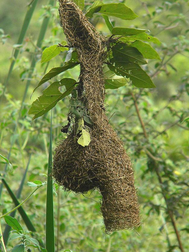 Forest Weaver's nest