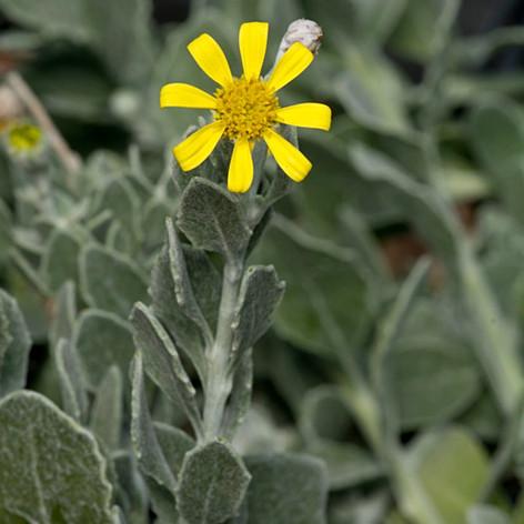 Chrysanthemoides incana