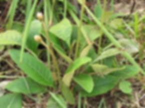 Gerbera ambigua