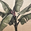Thumbnail: Musa Coccinea Tapestry