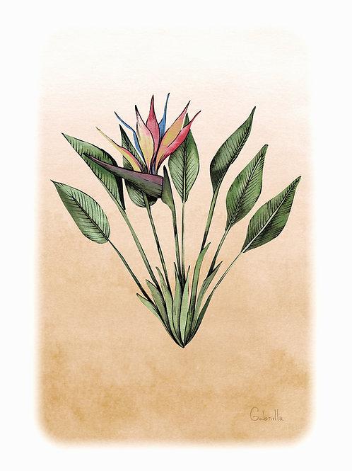 Strelitzia Illustration