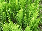 1024px-Equisetum_arvense_foliage.jpg