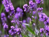 lavender-english-lavandula-angustifolia-
