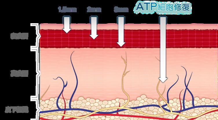ATP(Adenosine Triphosphate)稱為三磷酸腺苷,是細胞內的重要能量來源,當纖維母細胞充滿ATP能量時會處於非常活躍及健康的狀態,便能自然地製造膠原蛋白,從而達致緊緻輪廓、美白亮肌、淡化紅血絲、修復細紋、提升肌膚天然抗氧機能等功效。所以,當大家關注膠原增生的同時,更要關注細胞內的ATP能量,因為幫助膠原蛋白大量增生的方法,就是從強化細胞的ATP能量做起