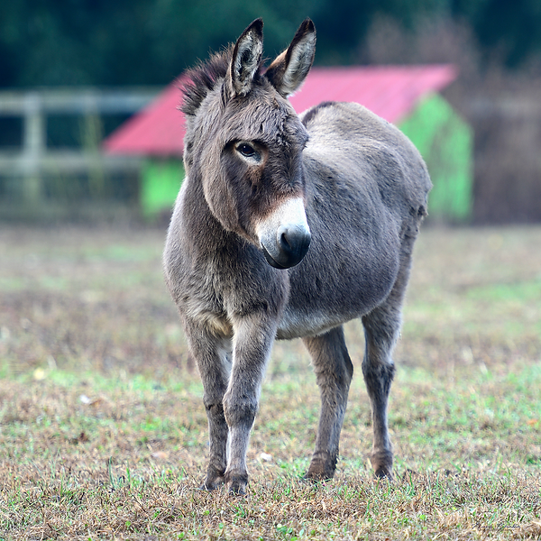 Donkey Thornbury Farm.png