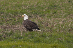 Bald Eagle (Special Concern)