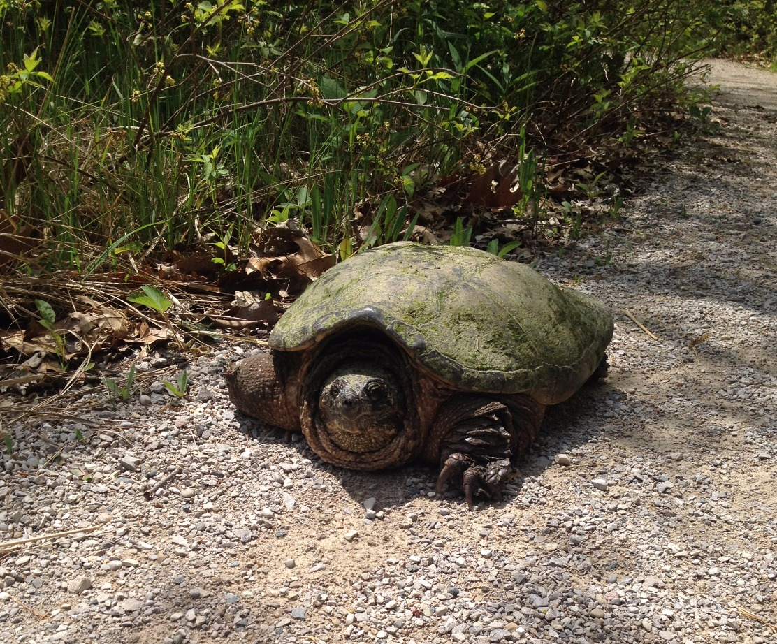 Snapping Turtle (Special Concern)