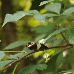 Giant Swallowtail on Hop Tree (THR)