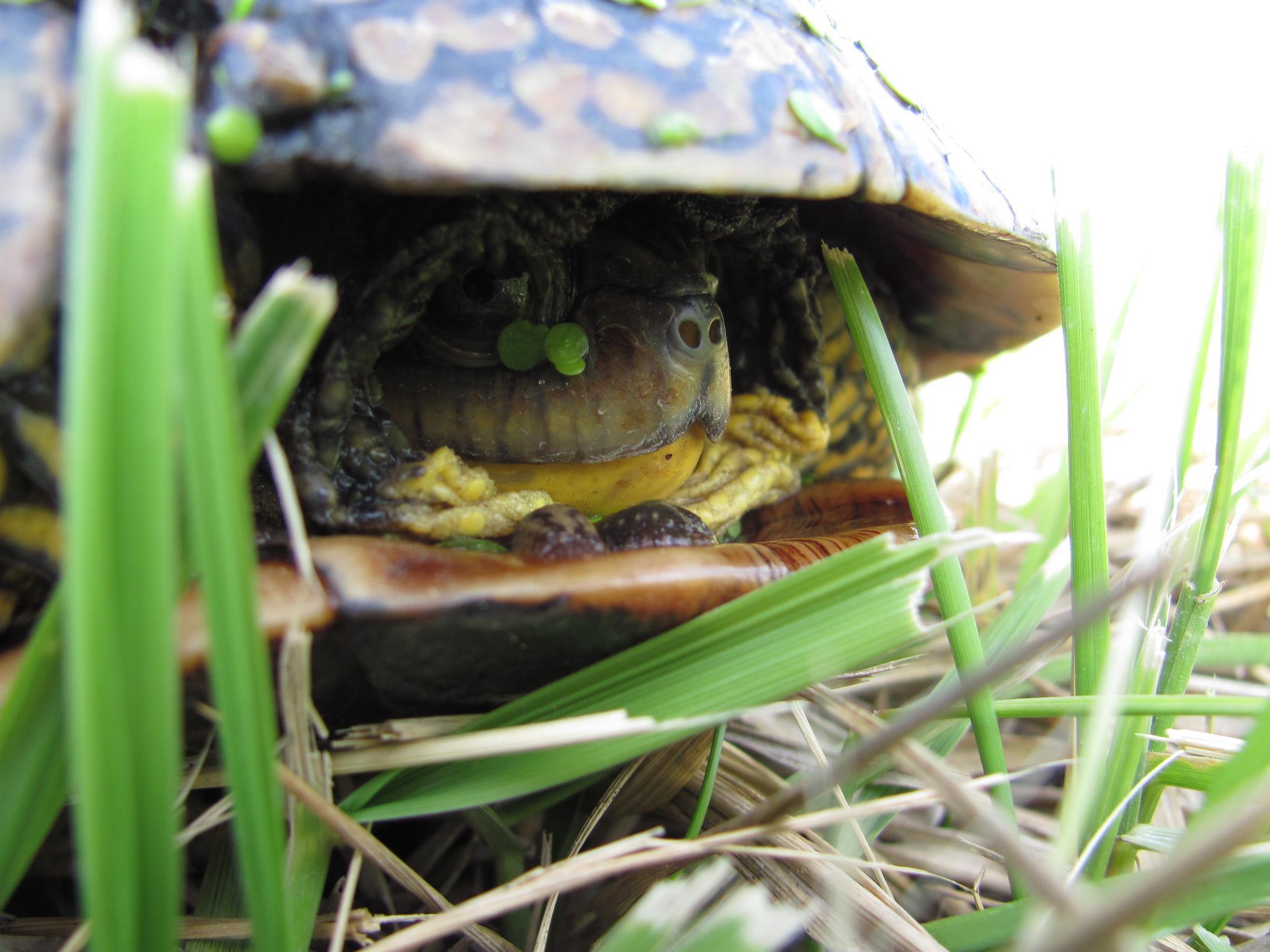 Blanding's Turtle (Threatened)