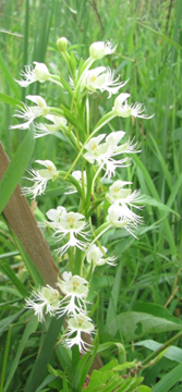 Eastern Prairie Fringed Orchid (END)