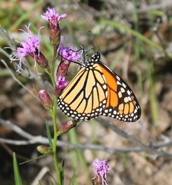 Monarch Butterfly (Special Concern)