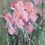 Thumbnail: «Blossom»