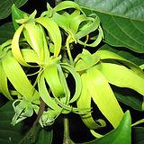 Ylang_ylang_flowers_-Cananga_odorata.jpg