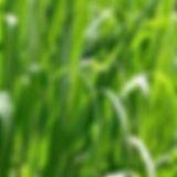 palmarosa.jpg