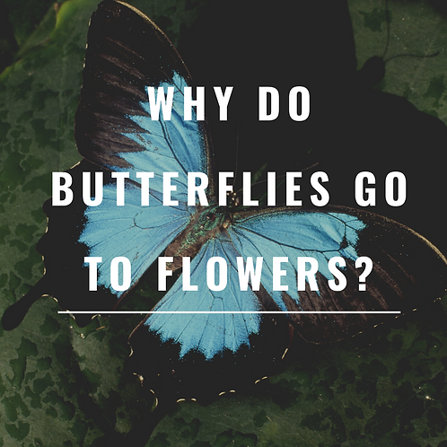 Why do butterflies go to flowers?