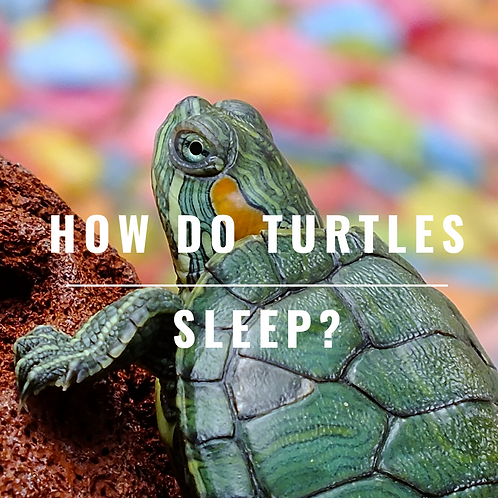 How do Turtles Sleep?