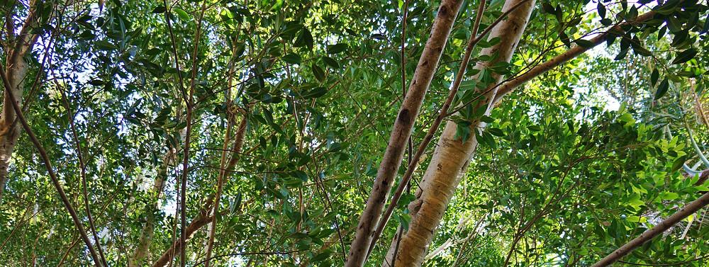 leaves of fig tree.