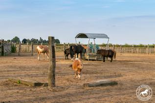 La stabulation des poneys