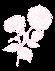 dahlia_pink-01.png