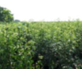 Obst Birne 2.jpg