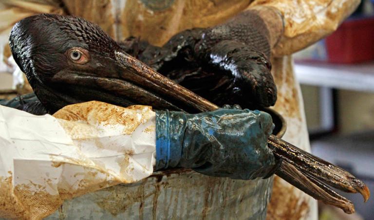Petrolden Kurtarılan Pelikan
