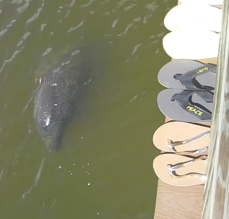 Manatees love our shoes