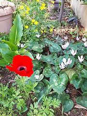 פרחים בראש פינה 2.jpg