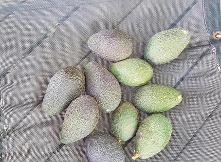 פירות ההתמדה