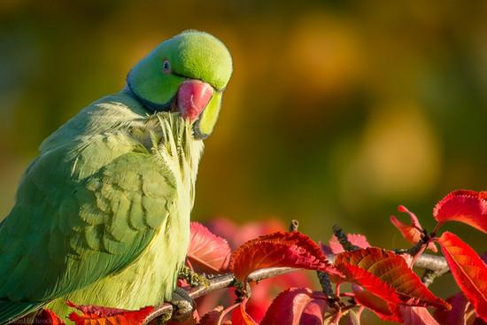 Parakeet in autumn