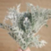 Dusty Miller Lacey Leaf 2_edited.jpg