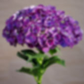 Purple Hydrangea_edited.jpg
