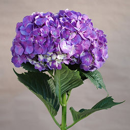 Purple Hydrangea 3_edited.jpg