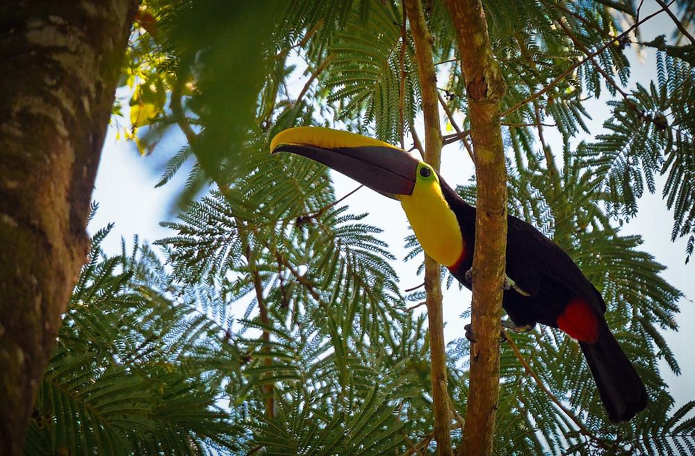 živopisana ptica tukan v krošnji drevesa v Kostariki
