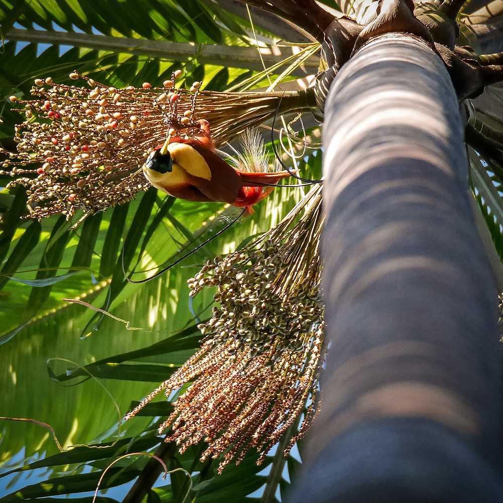 Rdeča in rumena ptica v krošnji s semeni