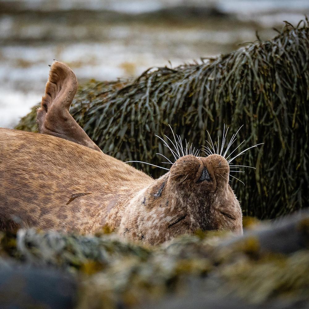 tjulen leži na hrbtu z morsko travo v ozadju